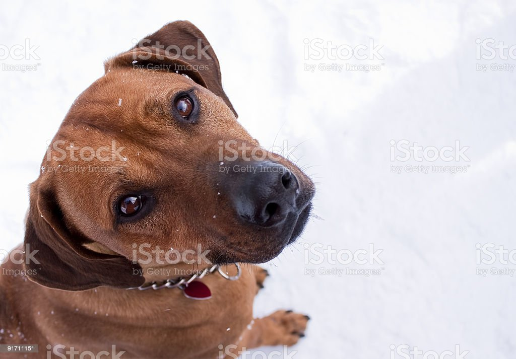 Rhodesian Ridgeback dog royalty-free stock photo