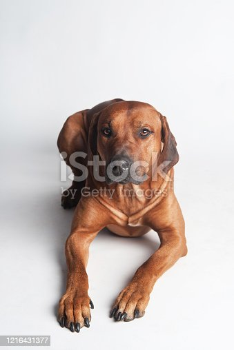 Young adorable Rhodesian Ridgeback isolated on a white background
