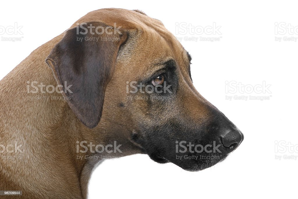 Rhodesian Ridgeback royalty-free stock photo