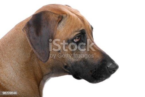 Rhodesian Ridgeback Stock Photo & More Pictures of Animal