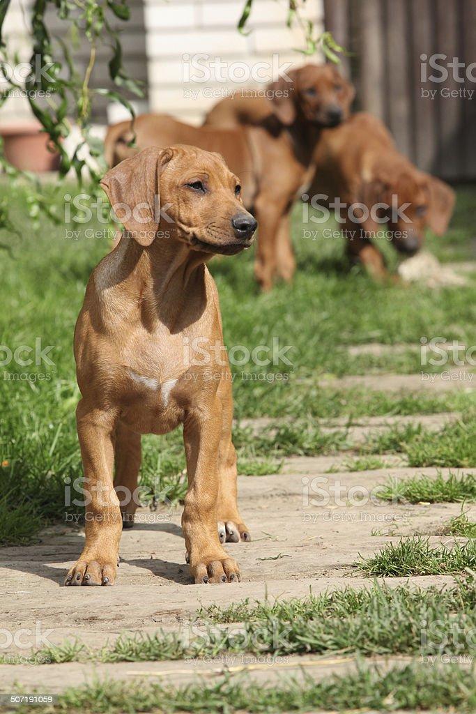 Rhodesian ridgeback puppy in the garden royalty-free stock photo