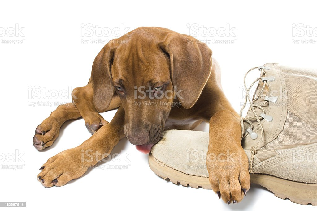 Beautiful Puppies Army Adorable Dog - rhodesian-ridgeback-puppy-licks-his-owner-army-boots-picture-id180387811  Trends_992745  .com/photos/rhodesian-ridgeback-puppy-licks-his-owner-army-boots-picture-id180387811