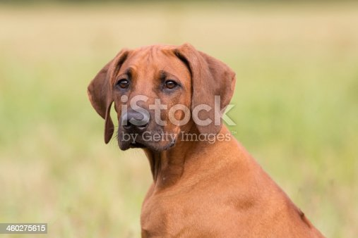 Rhodesian Ridgeback Puppy looking over shoulder.