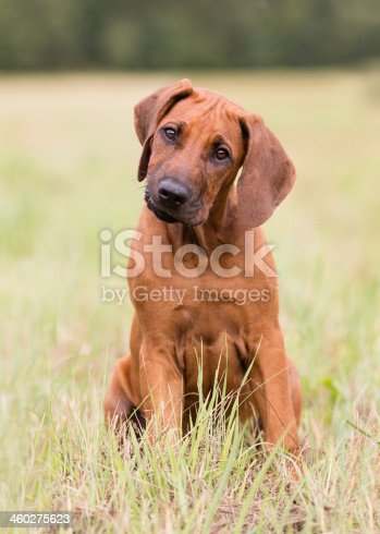Rhodesian Ridgeback Puppy sitting in the grass, brave and cocking it`s head.