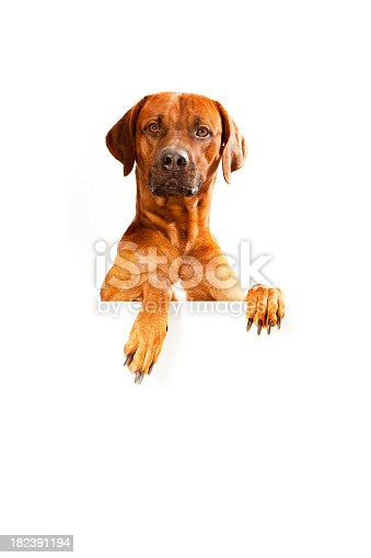 Rhodesian Ridgeback with Banner is looking at camera.