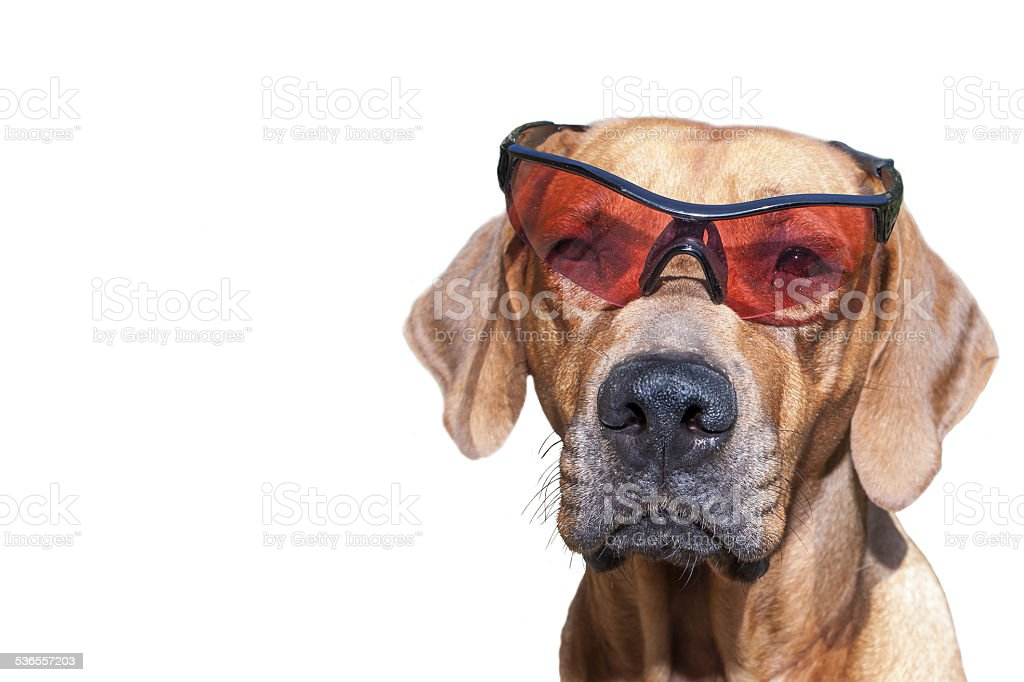 Rhodesian ridgeback with sunglasses, detail, funny photo, Isolated on white stock photo