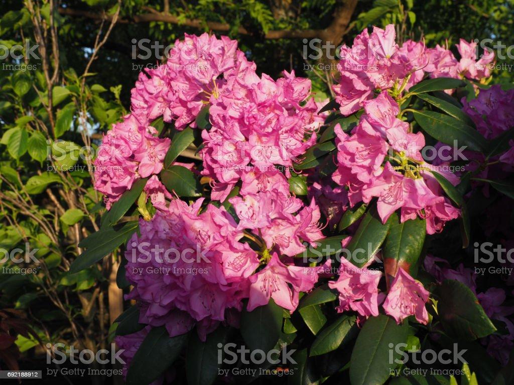 Rhododendren & Roses stock photo