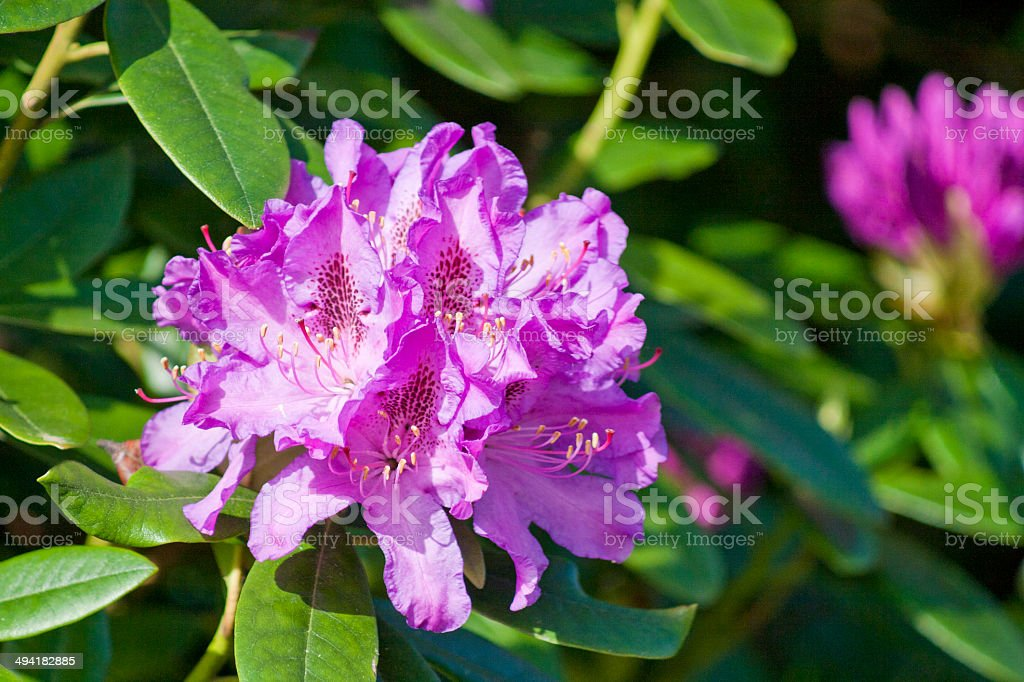 Rhododendrom Close-Up stock photo