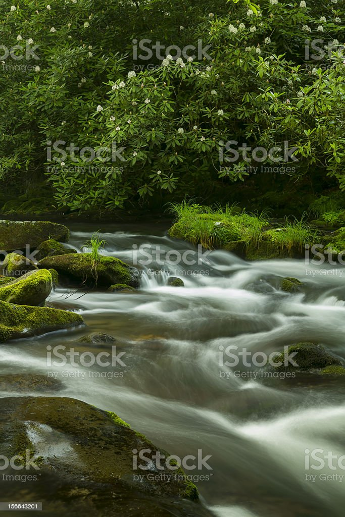 Rhododendron along Mountain Stream (Rhododendron Maximum) royalty-free stock photo