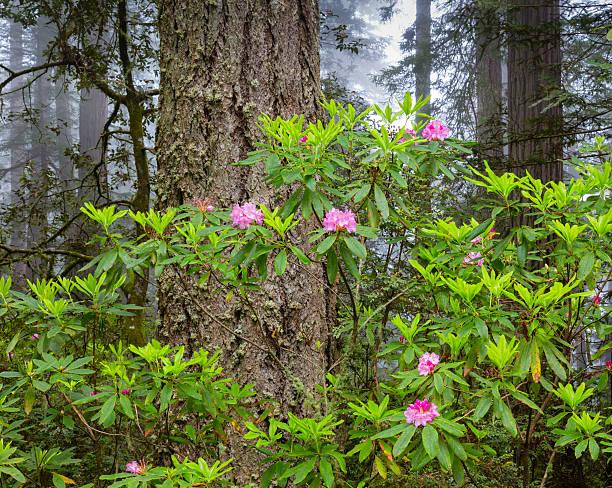 Rododendro stock fotos e im genes istock - Rododendro arbol ...