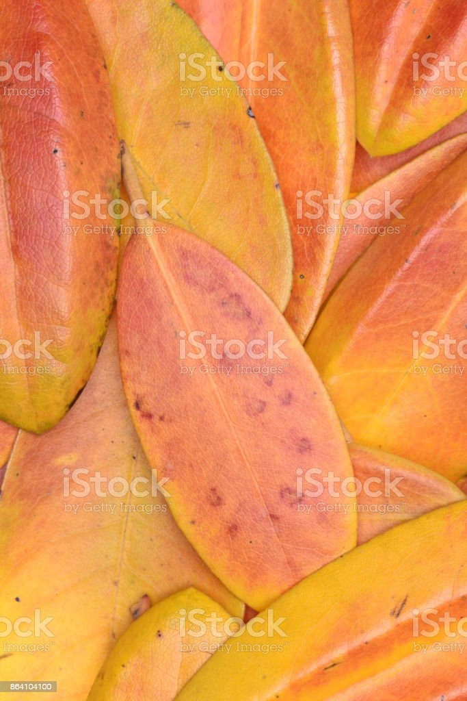 Rhododendron autumn leaves royalty-free stock photo