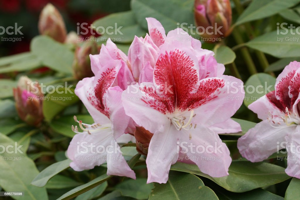 Rhododendron Belami, herald of spring, flower of the gardens stock photo