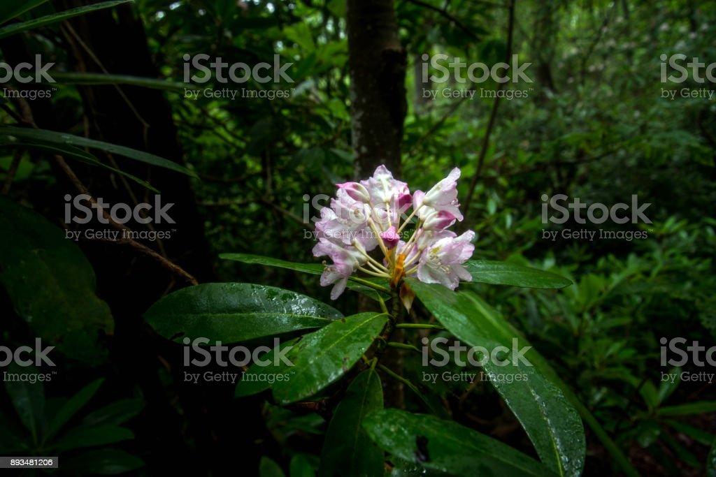 Rhododendron Blüte mit Regentropfen – Foto