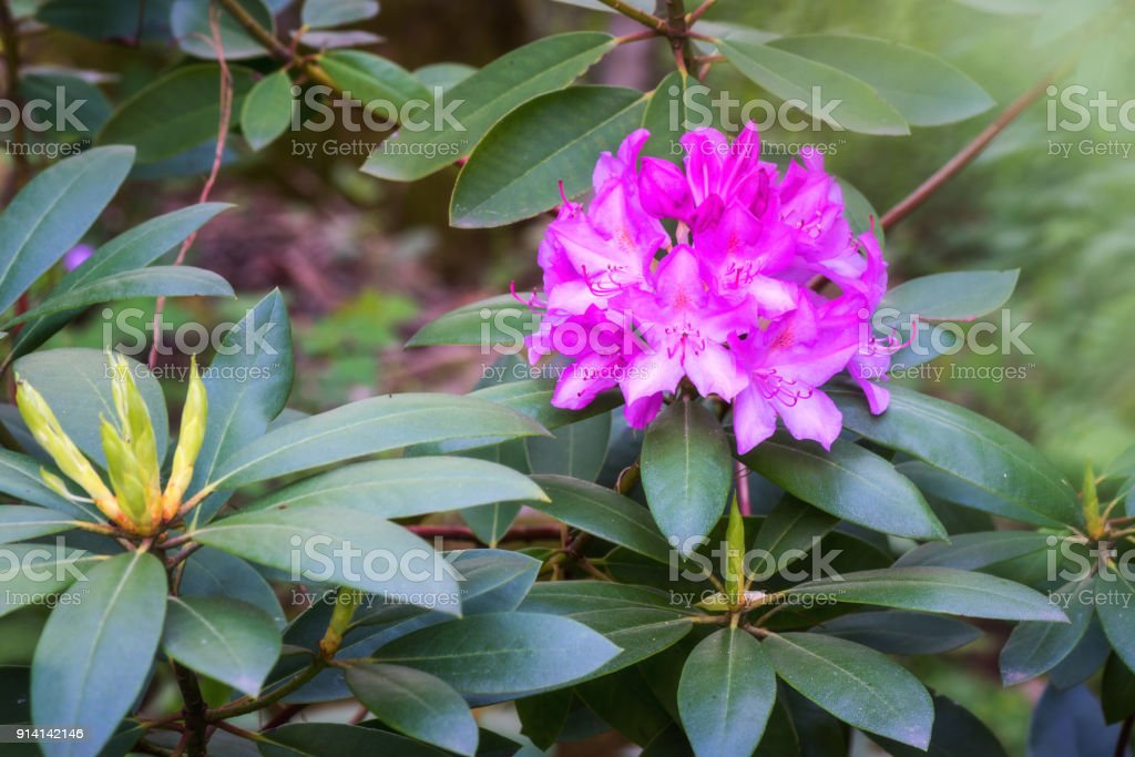 Rhododendron blooming flowers in the spring garden, nature background stock photo
