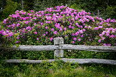 Rhododendron Blooms Over Post of Fence and Post
