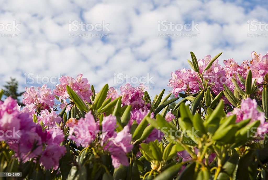 Rhododendron Blossoms on Roan Mountain royalty-free stock photo