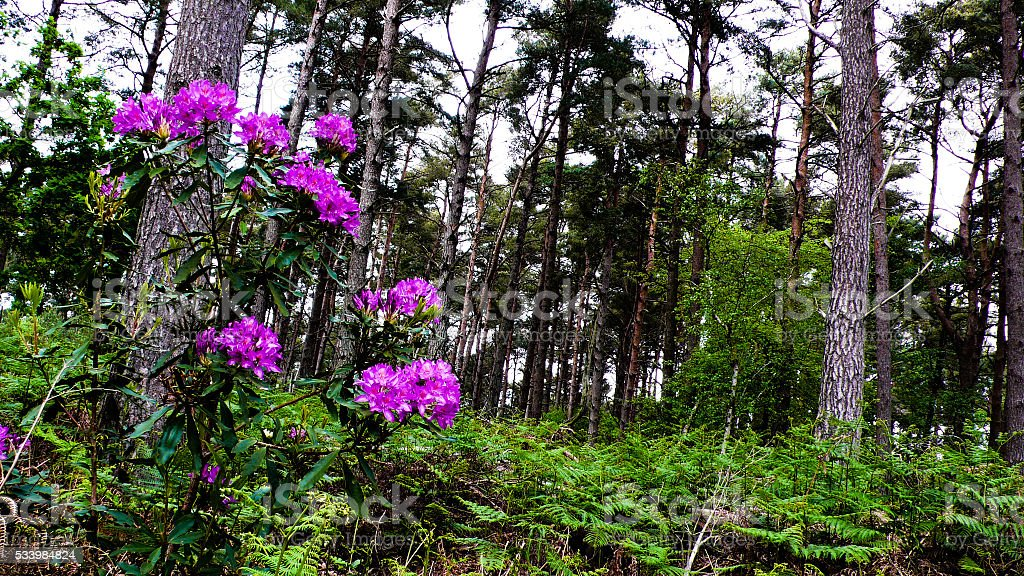 Rhododendron; Brownsea Island stock photo