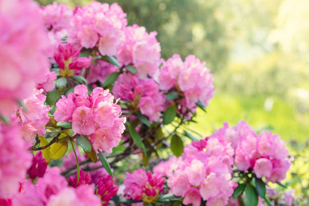 Rhododendron bush blooming in spring stock photo