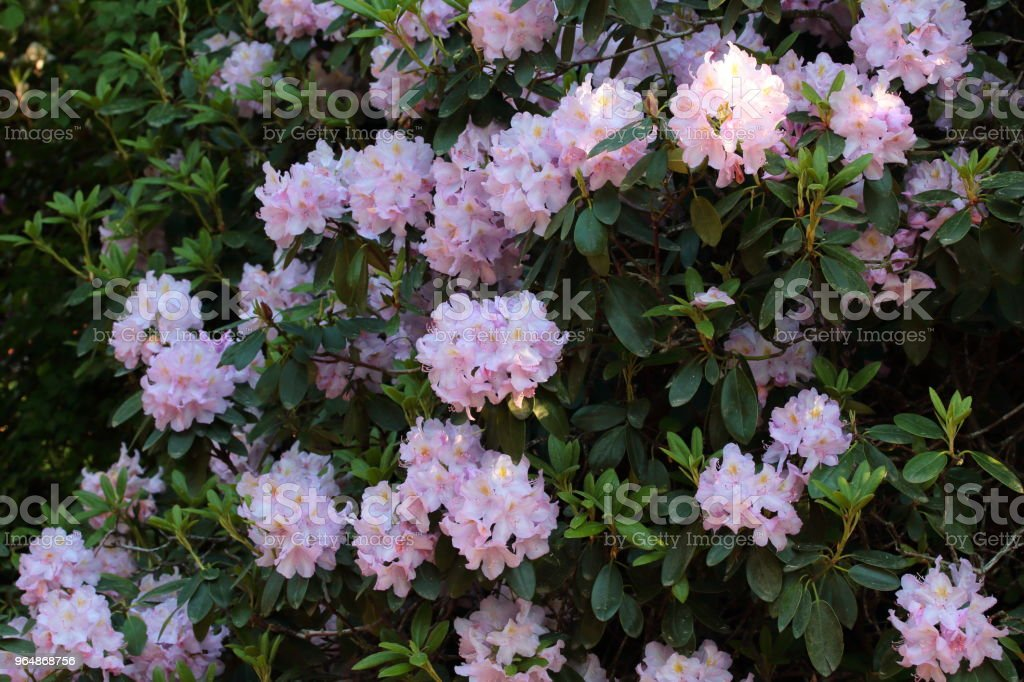 rhododendron bush in the park royalty-free stock photo