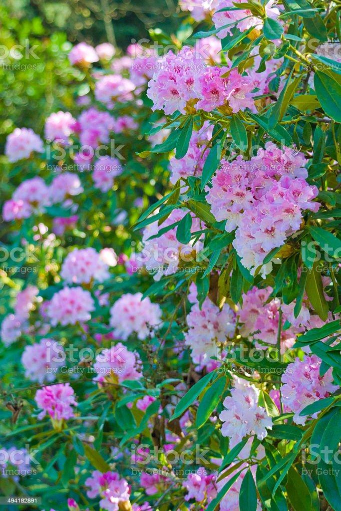 Rhododendron Bush stock photo