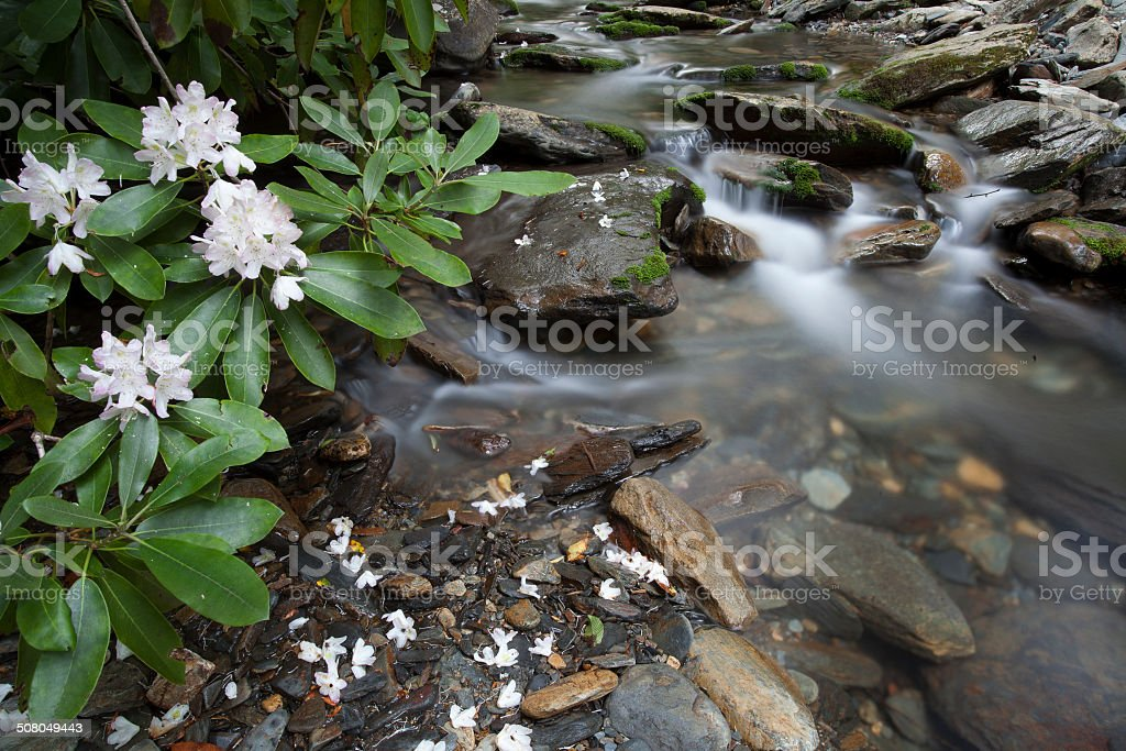 Rhododendron by Creek stock photo