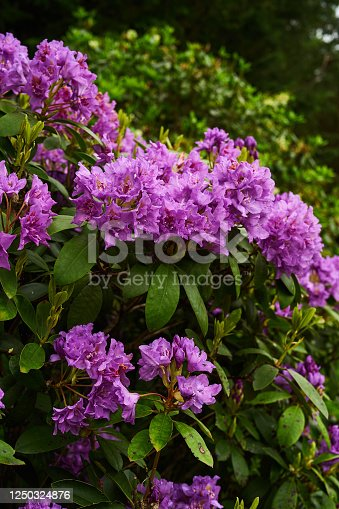 Close uup of Rhododendron flowers, cluster of delicate pink trumpet flowers. Botanical close up