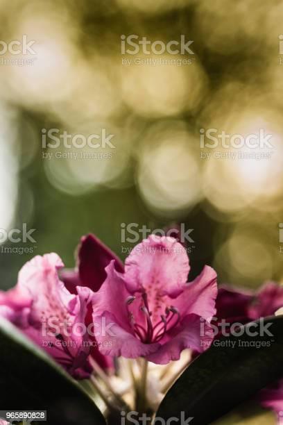 Rhododendron Fleurs Rozen Stockfoto en meer beelden van Blad