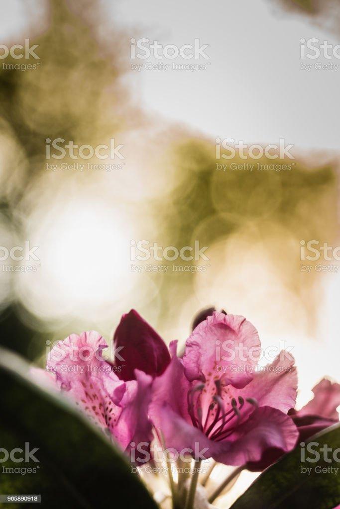 Rhododendron, fleurs rozen - Royalty-free Blad Stockfoto