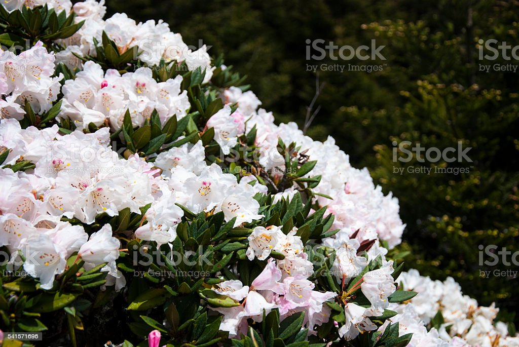 Rhododendron flower blossoms on mountains – Foto