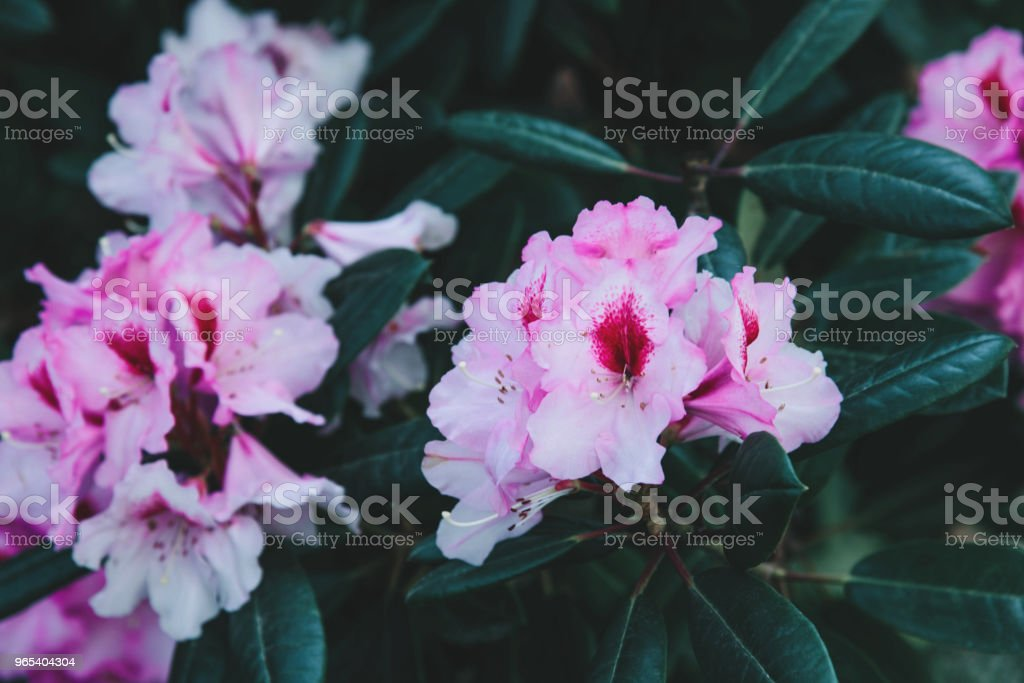 Rhododendron flower pattern royalty-free stock photo