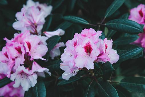 진달래 꽃 패턴 0명에 대한 스톡 사진 및 기타 이미지