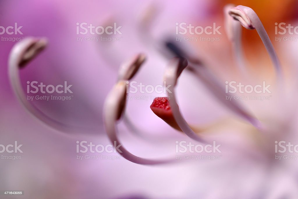 Rhododendron flower. stock photo