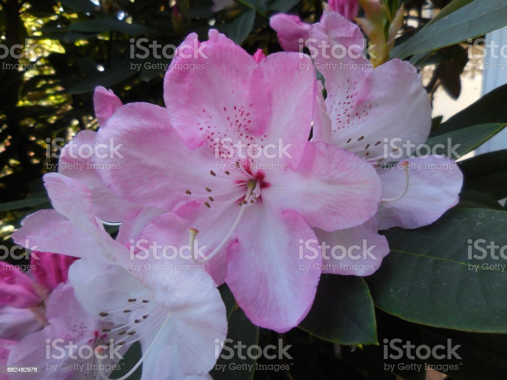 Rhododendron flower foto stock royalty-free