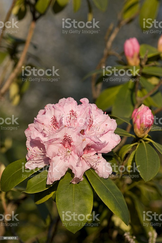 rhododendron flower royalty-free stock photo