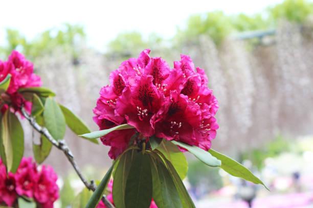 rhododendron blume - seltene pflanzen stock-fotos und bilder
