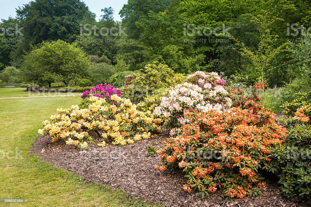 Rhododendron Flowers in a public park photo libre de droits