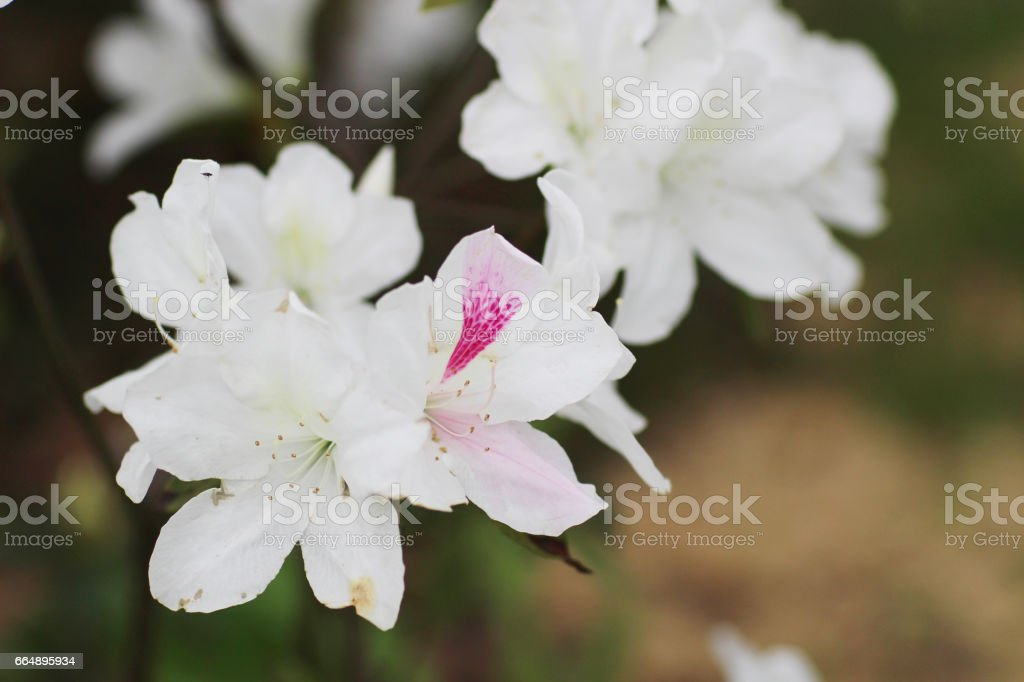 Rhododendron Flowers in a public park foto stock royalty-free