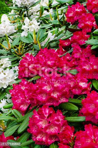 Rhododendron  flowers in the garden background