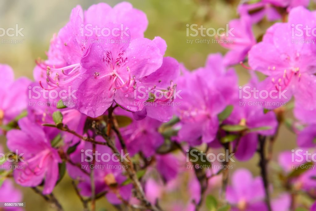 rhododendron flowers magenta background rain royalty-free stock photo