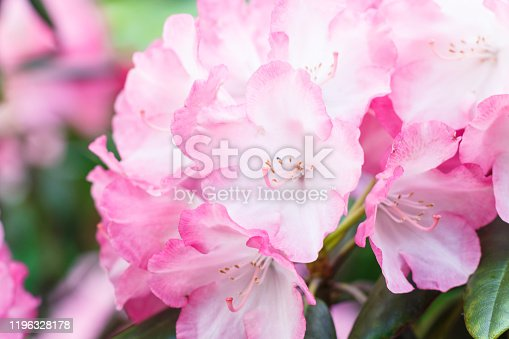Rhododendron (azalea ) flowers of various colors in the spring garden. Closeup. Blurred background.