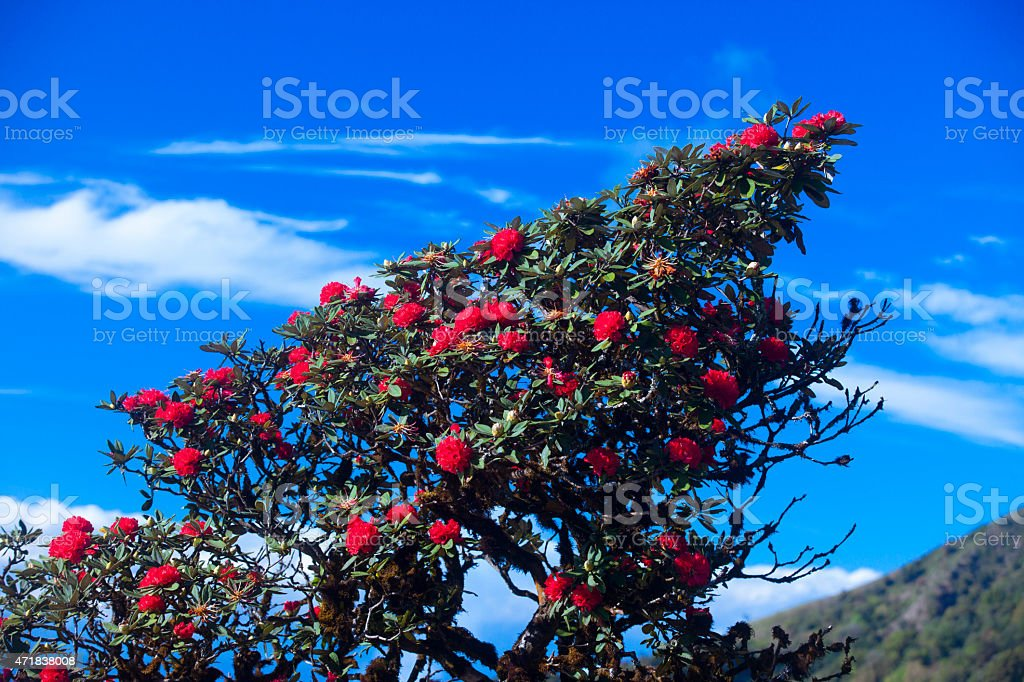 Rhododendron flowers stock photo