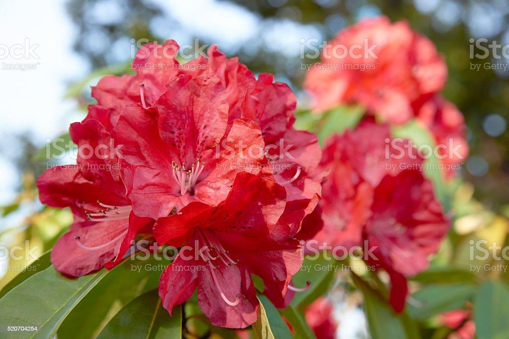 Rhododendron-Blüten – Foto