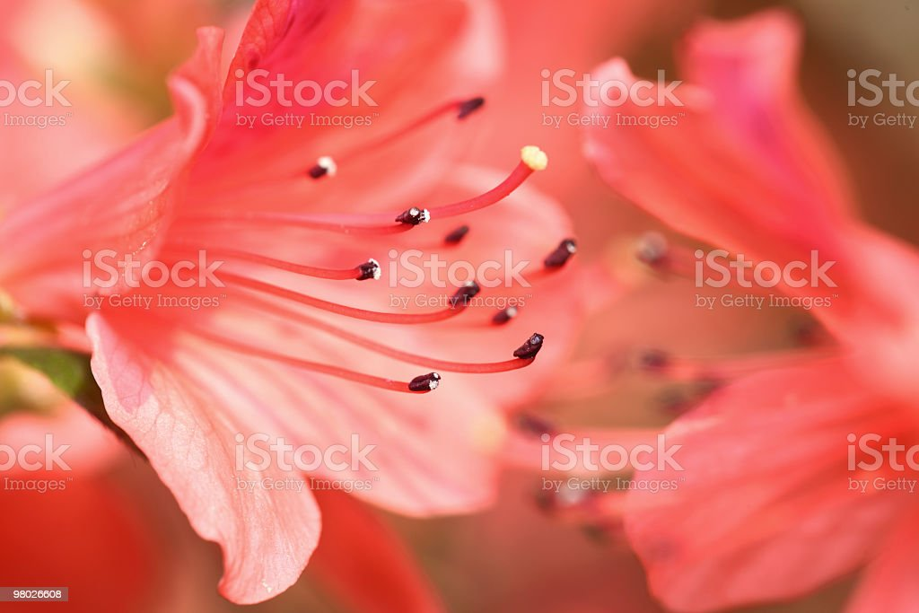 Rhododendron flowers royalty-free stock photo