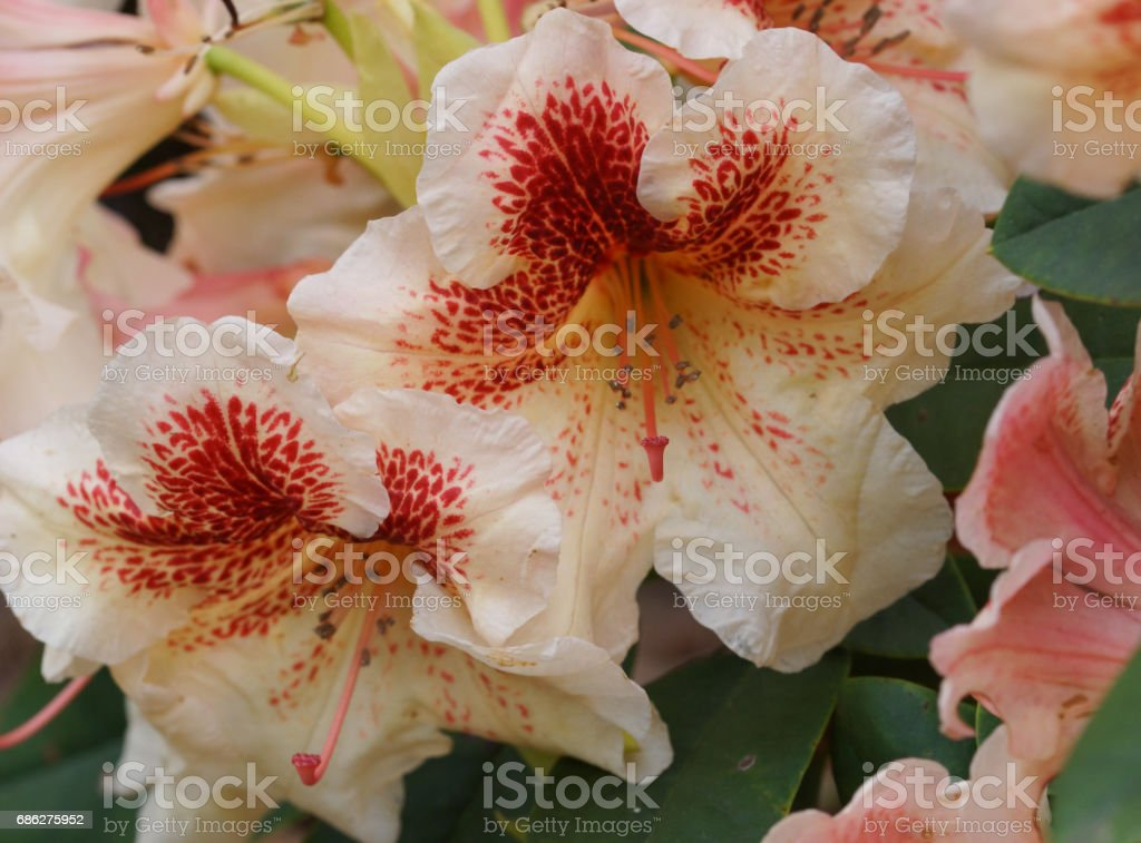 Rhododendron Hybride Peggy, herald of spring, flower of the gardens stock photo