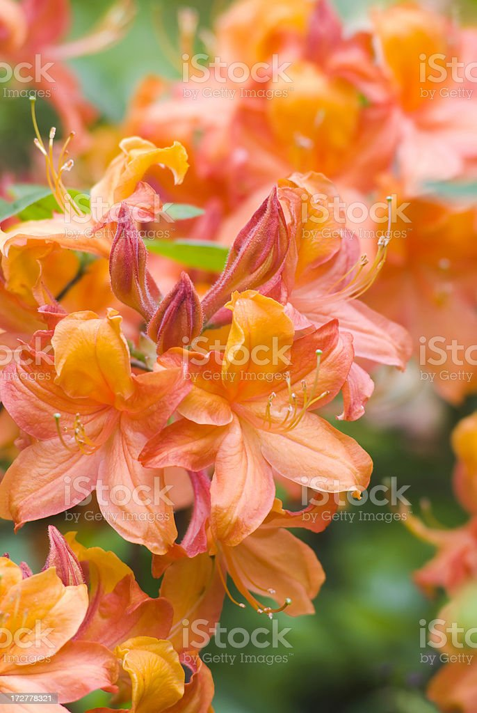 Rhododendron - II stock photo