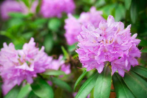 Pink rhododendron in bloom.