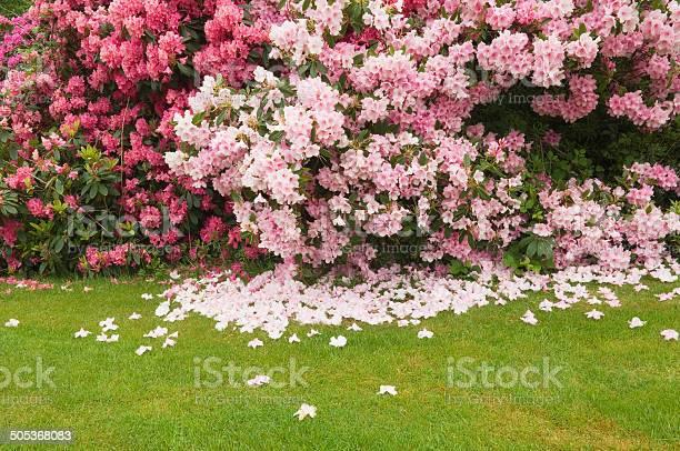 Rhododendron in flower picture id505368083?b=1&k=6&m=505368083&s=612x612&h=sruhdtrahyfkererbponz7d6knbj6dazlxpgm6ys8nk=