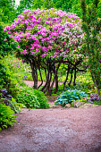 Rhododendron in full bloom.