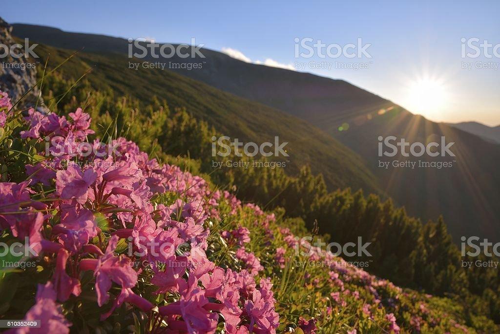 Rhododendron in National Park Piatra Craiului, Romania stock photo