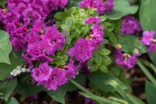 Rhododendron im Garten – Foto